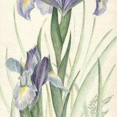 zoom-iris-1-sans-cadre